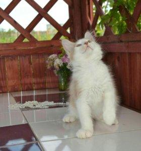 Мейн Кун котик