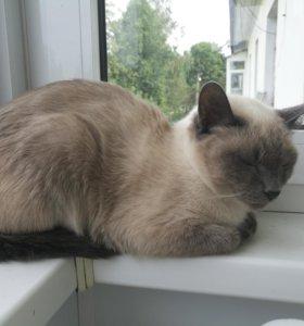 Сиамская кошка в добрые руки.