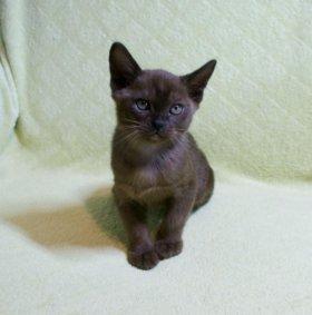 Бурманский котёнок