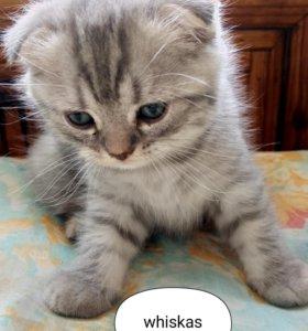 Продам шотланских котят