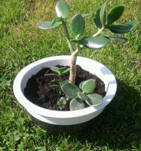Денежное дерево в керамическом кашпо