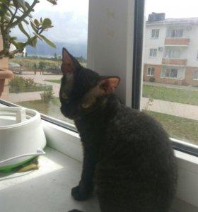 Котёнок донского сфинкса. СРОЧНО.