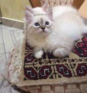 Невские маскарадные котятки