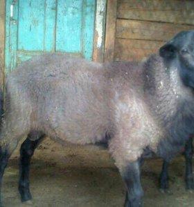 Овцы Романовские на племя