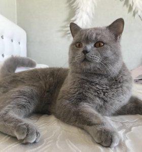 Шотландский кот(для вязки