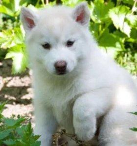 Белые щенки хаски