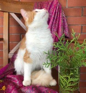 Метис мейн-куна и дворовой кошки