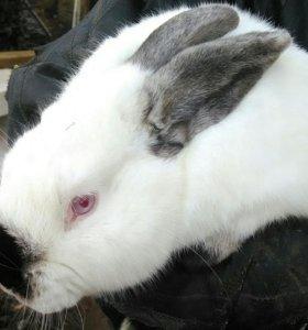 Продаю кроликов и мясо кролика