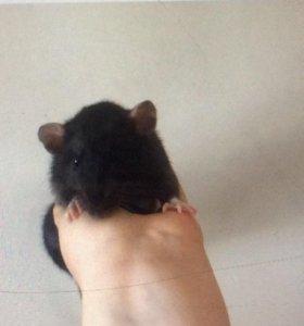 Крысята дамбо не на корм