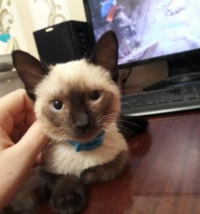 Котик сиамский