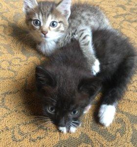 Отдам 2-х котят, 1,5 мес, мальчик и девочка