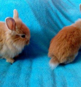 Карликовый декоративные кролики