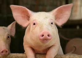 Свинина(мясо)
