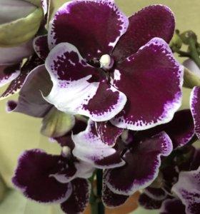 Орхидея биглип