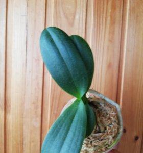 Орхидея sedirea japonica