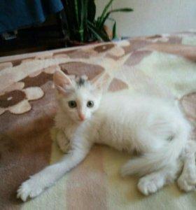 Бесплатно котенок от сиамской кошки