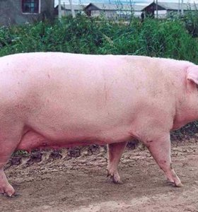 Свинья под покрыв