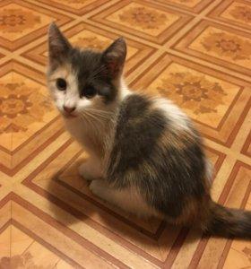 Трёхцветный котёнок ищет дом