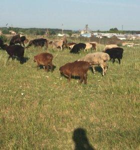 Бараны овцы ягнята оптом и в розницу