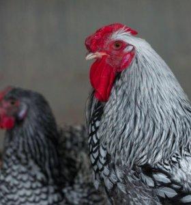 Семья петух и курица порода ВИАНДОТ серебристый