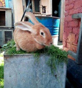 Продам кролиху