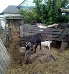 Коза пуховая с козлёнком