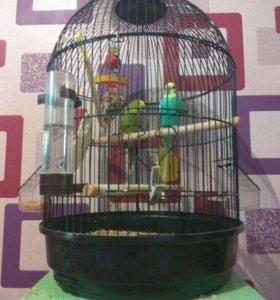 Волнистые попугаи(комплект)