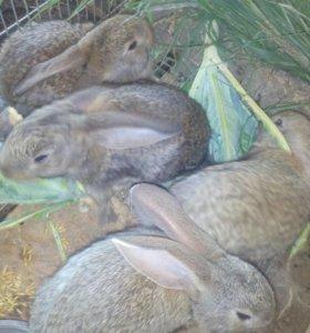крольчата Немецкий Великан