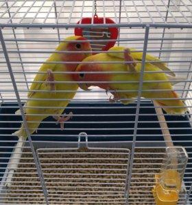 Средние попугаи бананчики 😀