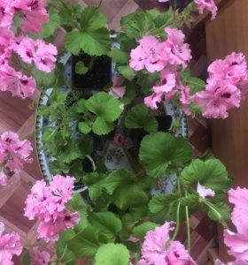 Пеларгония королевская (белая,розовая,фиолетовая)