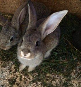 Кролики  ,молодняк