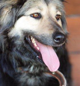 Добрая собака Лада ищет дом