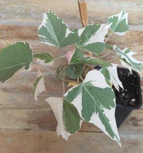 Пестролистное ампельное растение