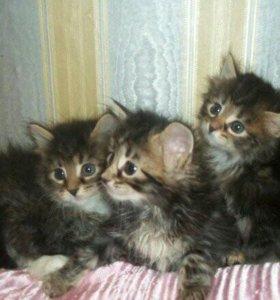 Сибирские серо-голубые пушистые котята.