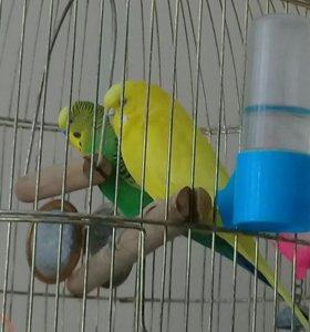 Срочно Волнтстые попугаи с клеткой