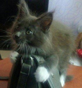 Котик Мейн - кун