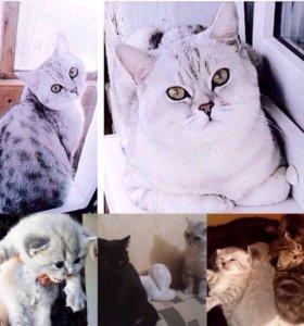 Вязка с британцем-вискасом (красивые котята!)