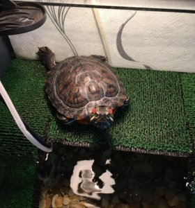 2 черепахи и аквариум