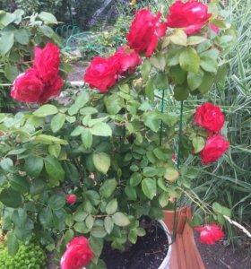 Роза садовая кустовая
