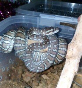 Змея питон Morelia Bredli
