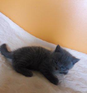 Продается котенок мальчик