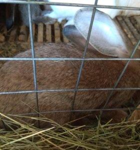Срочная продажа!Кролики породы Бельгийский великан