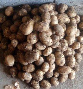 Картофель жёлтый новый урожай