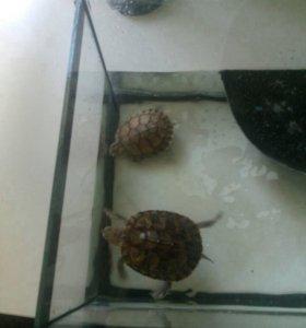 2 красноухие черепахи