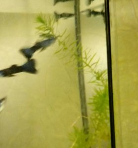 Продам рыбок ( гуппи. Петушки)