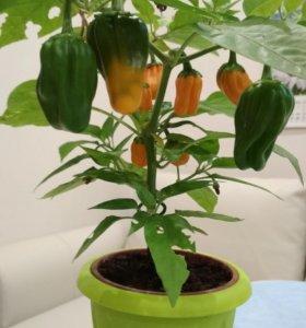 Перец золотой (оранжевый)в горшочке