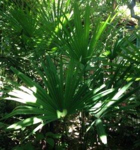 Пальмы, гортензия, гибискус, аукуба,лавр