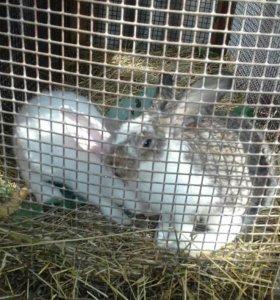 Продаются кролики 2 месяца. Порода великан