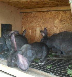 Продам крольчат