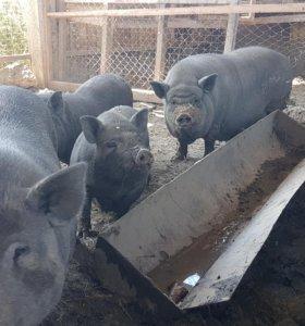 Свиньи на мясо и поросята